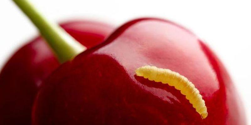 Несуть небезпеку черв'яки в черешнях
