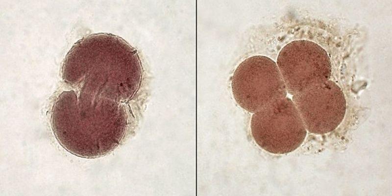 Учеными обнаружили различия в клетках двухдневного эмбриона