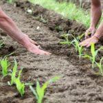 Сельхозпроизводители сегодня посеяли 4 млн га кукурузы — Минагрополитики