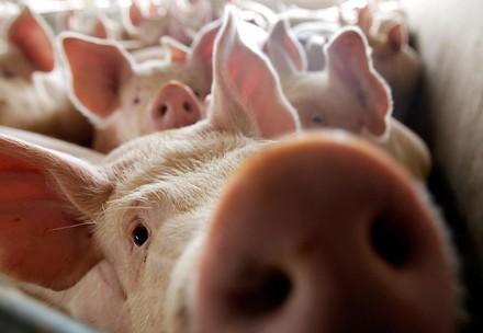 Фермери Херсонської області отримали менше половини належних їм компенсацій за вилучених свиней