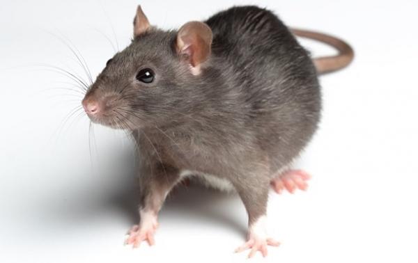 Нью-Йорк витратить 32 мільйони доларів на боротьбу з пацюками