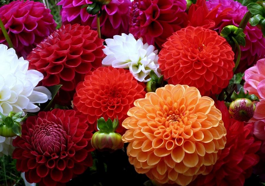 Жоржини - незмінні фаворитки пишних квітників і міксбордерів