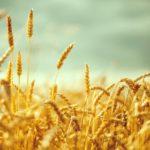 [:ru]Аграрии намолотили 13 млн тонн зерна[:uk]Аграрії намолотили 13 млн тонн зерна[:]