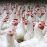 [:ru]В Украине может появится крупнейшая птицефабрика в мире[:uk]В Україні може з'явиться найбільша птахофабрика в світі[:]