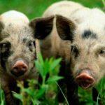 [:ru]На Полтавщине из-за АЧС может не стать уникальной породы свиней[:uk]На Полтавщині через АЧС може не стати унікальної породи свиней[:]