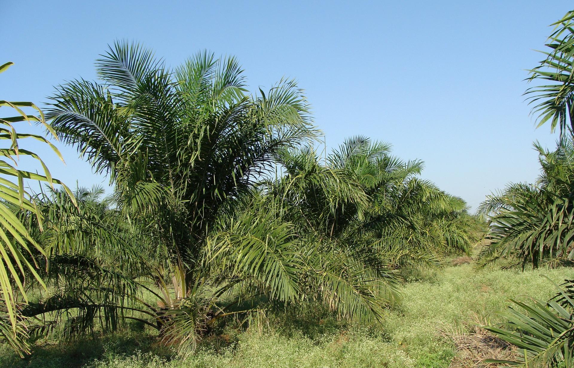 пальма масло